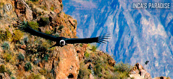 Vuelo Condor en el Cañon del Colca por Semana Santa en Arequipa